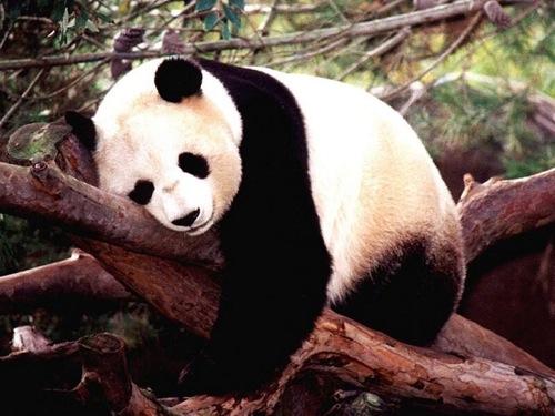 熊猫动物睡觉的姿势
